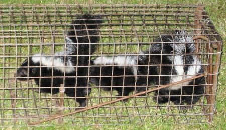 Getting Rid of the Skunks in Your Yard